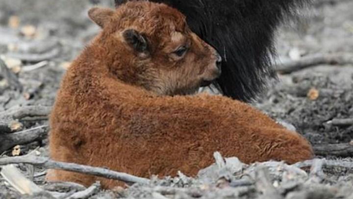 First Bison Calf In 100 Years Born in Alaska Wilderness