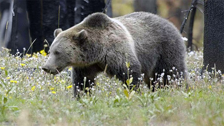 USFWS Proposes Delisting the Grizzly Bear in the Greater Yellowstone Ecosystem