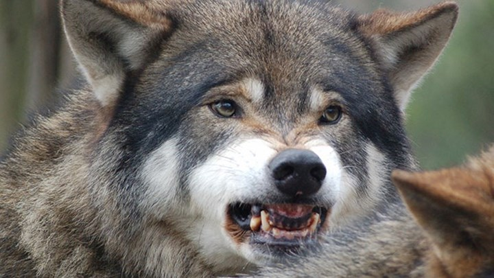 Federal Management in Question as Wolves Sport-Kill 19 Elk in One Attack?