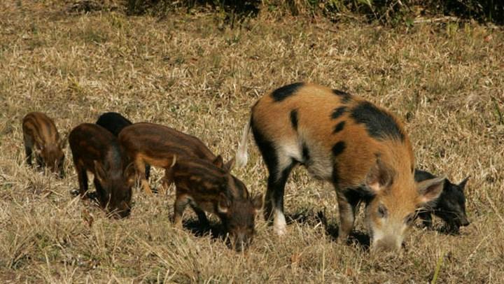 Exploding Feral Hog Population Harming Other Wildlife Species
