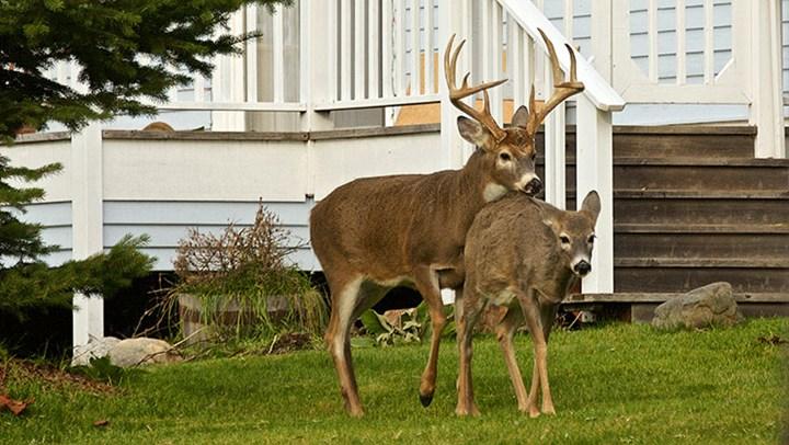 NYC Mayor Wants $2 Million for Deer Vasectomies?