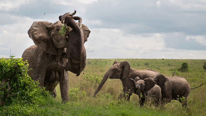 Elephant's Cape Buffalo Attack Caught on Camera