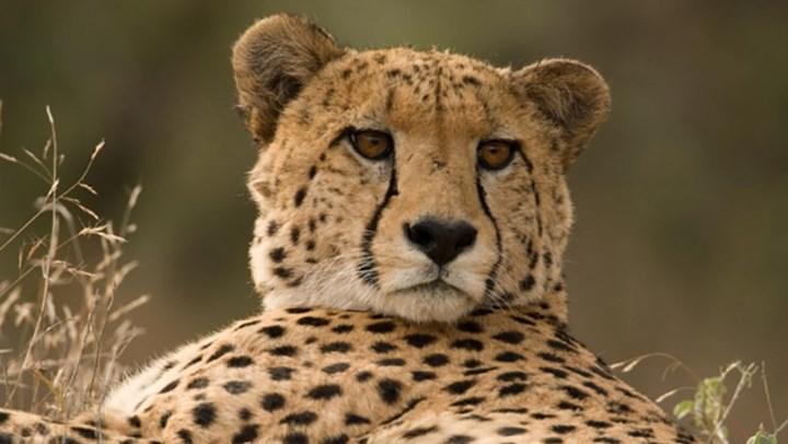 Cheetah Numbers Crashing Despite ESA Protections