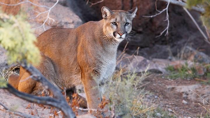 Arizona Bill to Ban Cougar and Bobcat Hunting