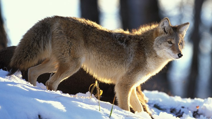 Alaska Approves Hunting Coyotes with Dogs in Delta Junction