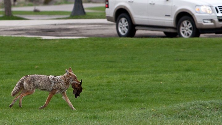 """California Antis Tout """"Coexisting"""" with Urban Coyotes over Public Safety"""