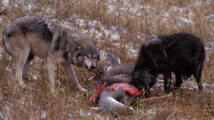 Why the Federal Court Upheld Delisting Wyoming Wolves