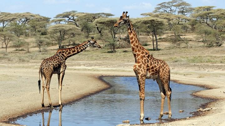 Antis Push USFWS to List Giraffes as Endangered