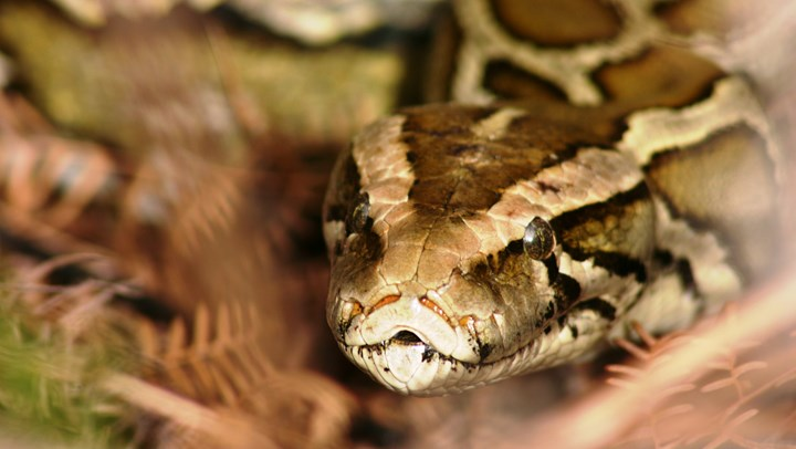 Florida Paying Hunters to Cut Python Populations