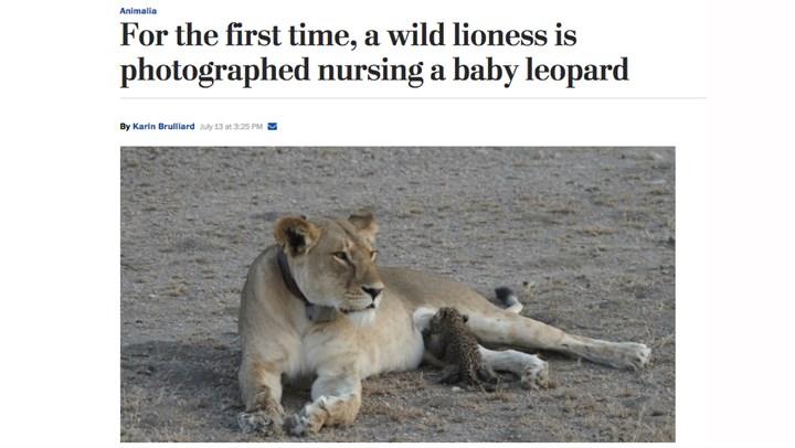 Rare Photo Captures Lioness Nursing a Leopard Cub