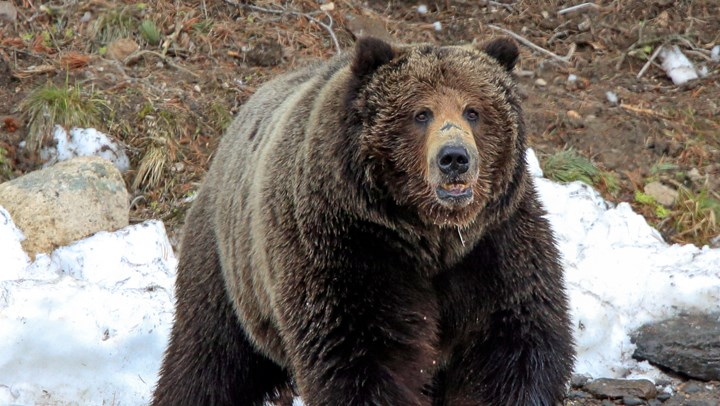 """""""Delisting"""" of Grizzlies is Not a Dirty Word"""