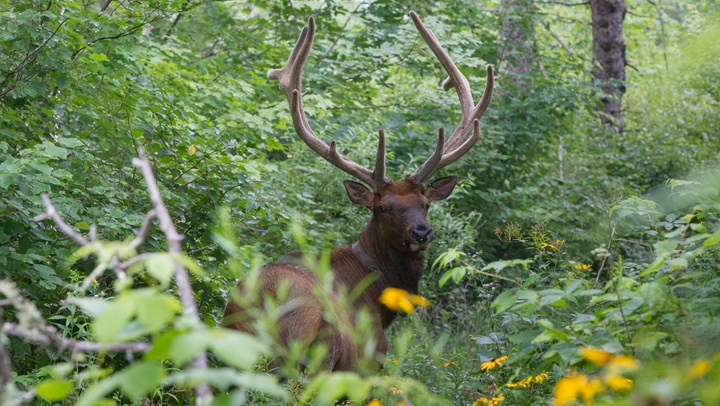 Wisconsin Elk Population Continues to Expand