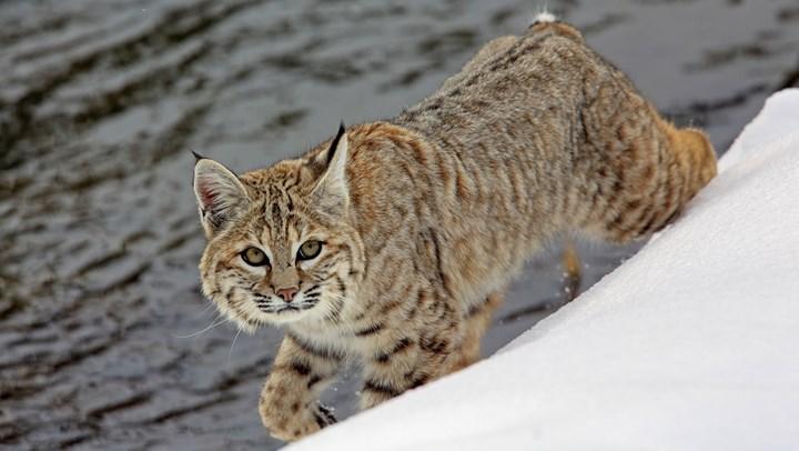 Hunters Aid Wisconsin's Bobcat Numbers