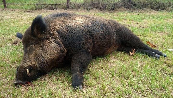Texas Man Kills 416-Pound Wild Hog in Backyard