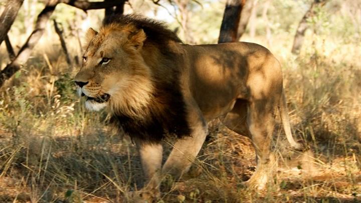 USFWS Allows Lion Trophy Imports from Zimbabwe and Zambia