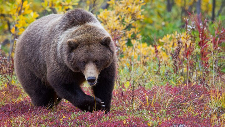 Repercussions to Hit B.C. as Grizzly Season Closes
