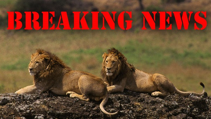 African Lions Eat Suspected Poacher