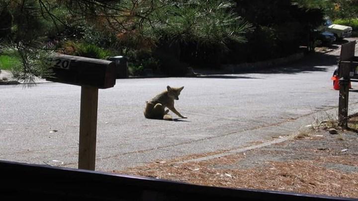 Urban Coyote Attacks Increasing on Humans and Deer
