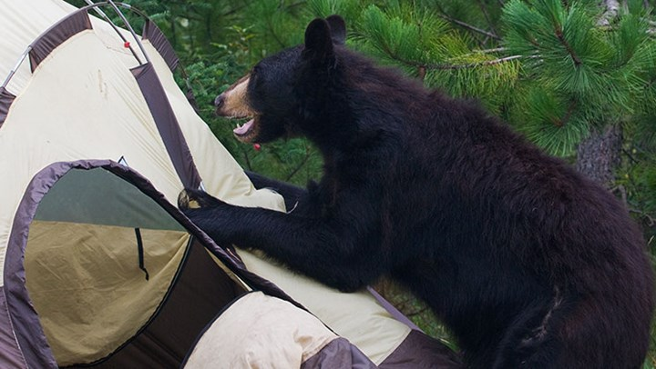Black Bear Attacks on the Rise in Colorado