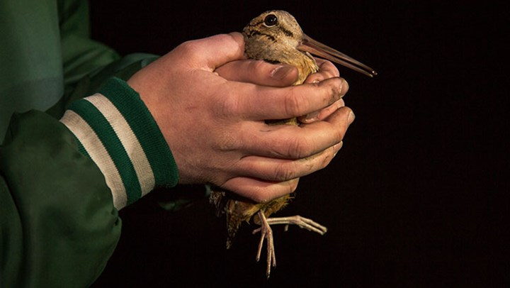 Wisconsin Collegians Band Woodcock to Study Biology