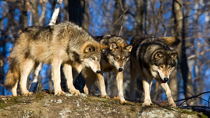 Wyoming Wolf Numbers Up Despite Delisting