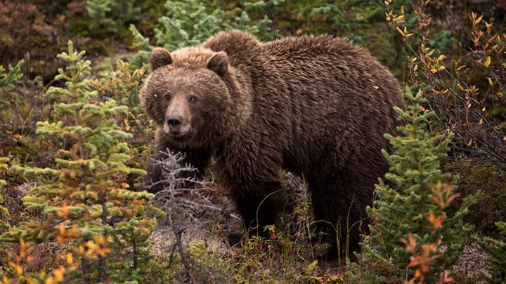 Judge Halts Grizzly Bear Hunts for Two More Weeks