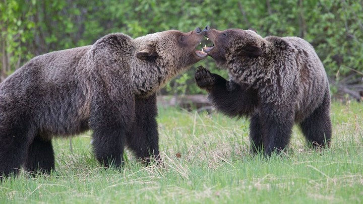 Wyoming Grizzly Kills Hunting Guide