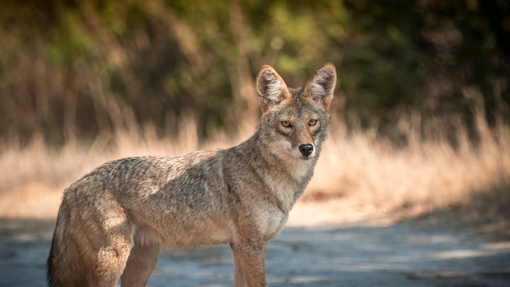 California City Prepares to Cull Pet-Eating Coyotes