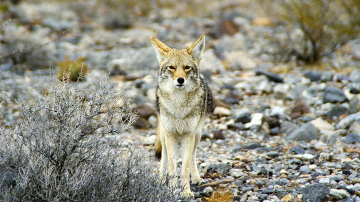 Why It's Prime Time to Gear Up for Coyotes