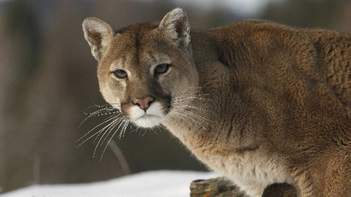 Pride of Mountain Lions Prowls Colorado Community