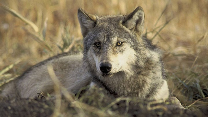 The Official Process Begins to Delist the Gray Wolf