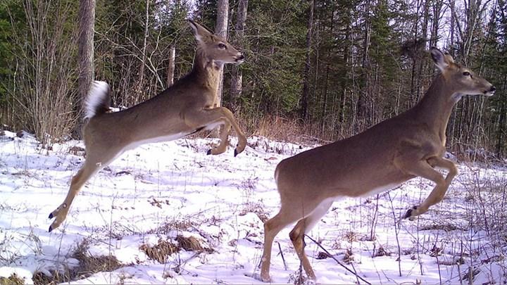Snapshot Wisconsin: Using Citizen Science to Aid Wildlife