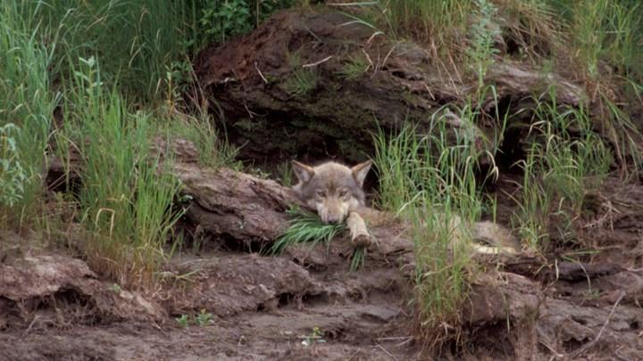 Minnesota Politicians Sneak Wolf Hunting Ban into Omnibus Bill