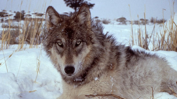 USFWS Extends Comment Period for Delisting Gray Wolves