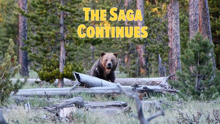 Yellowstone Grizzlies Return to Endangered Species Protection