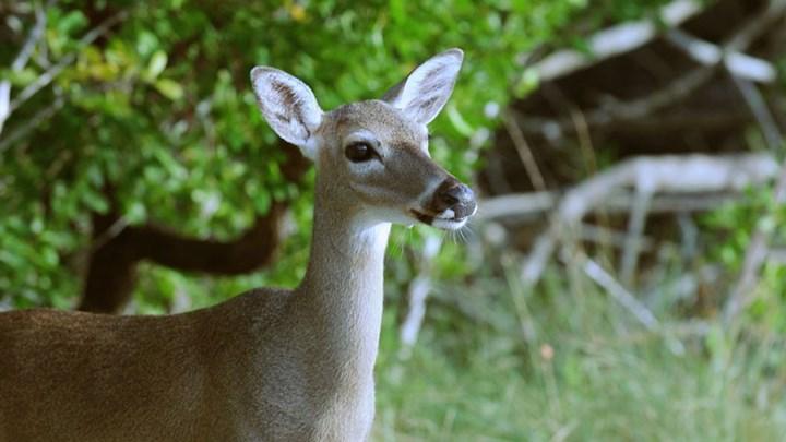 USFWS Seeks to Delist Whitetail Subspecies in Florida Keys