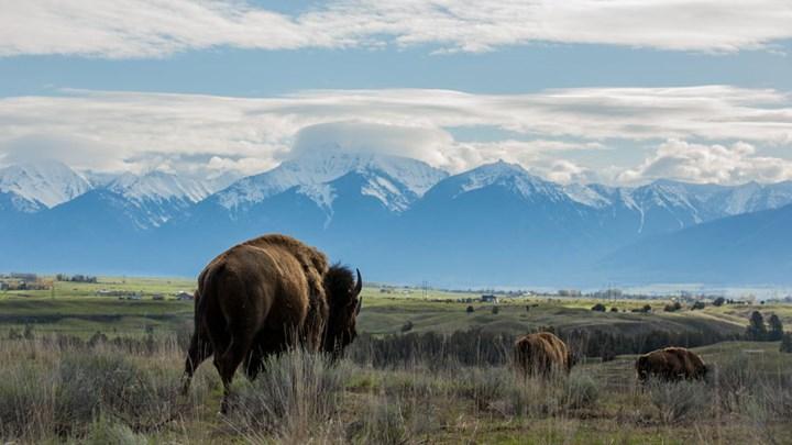 Hunting, Transplanting Needed to Cut Arizona Bison Population