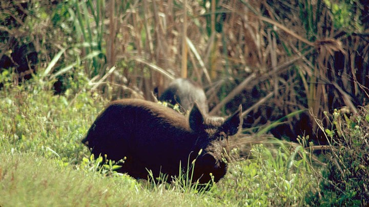 Controlling Feral Hogs with a Sterilization-Hunting Combo