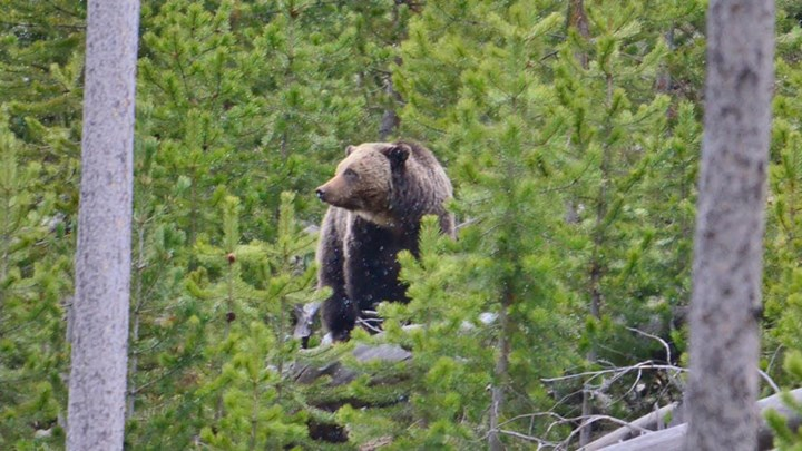 Another Hunter Kills A Grizzly Bear in Self-Defense