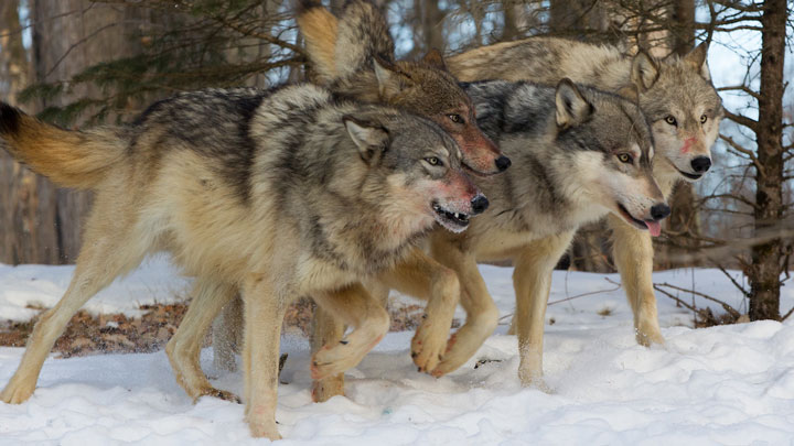 The number cause of fatality for wolves in North America is wolf-on-wolf violence. (Image by Keith R. Crowley, CrowleyImages.com.)