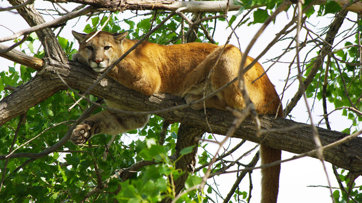 Mountain lion attacks on humans are on the rise in Colorado due to the limited controls on the predator. (Image by Justin Shoemaker.)