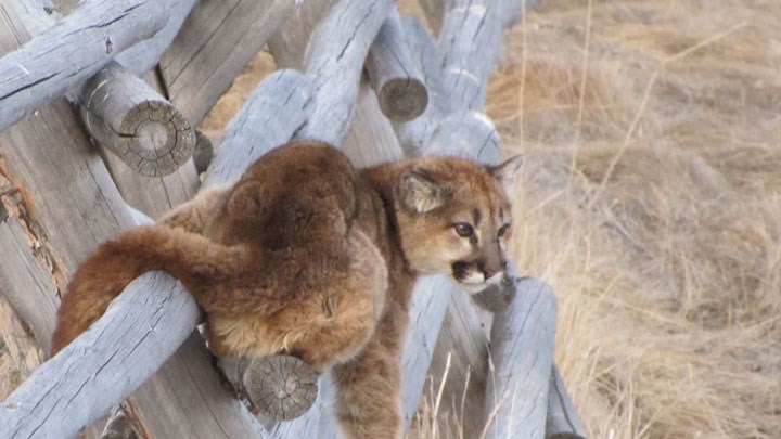 Woman Attacked by Mountain Lion in Colorado RV Park