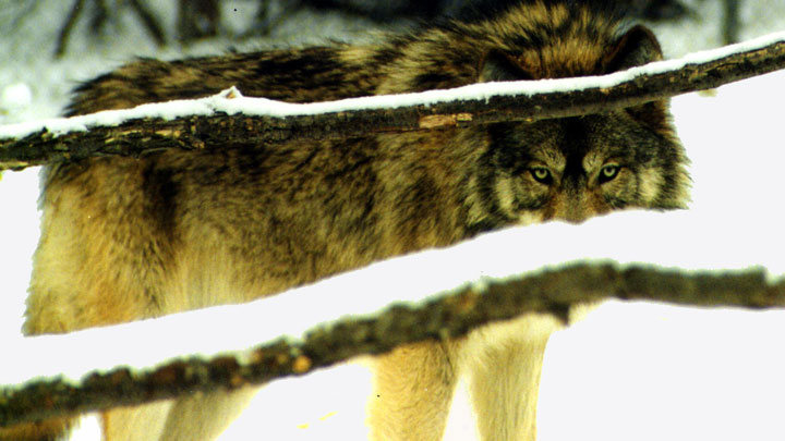 Grey wolves, if introduced into Colorado, will compete for prey with mountain lions, further pressuring mule deer populations, as well as pets. (Image courtesy of Scott Flaherty, USFWS Midwest Region.)