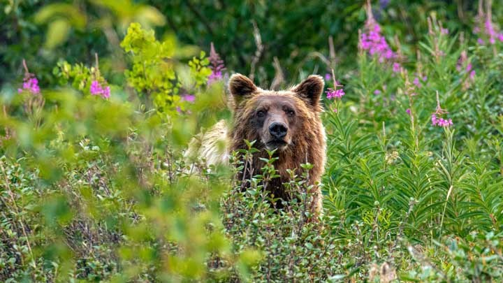 Taking Grizzlies from Field to Table?