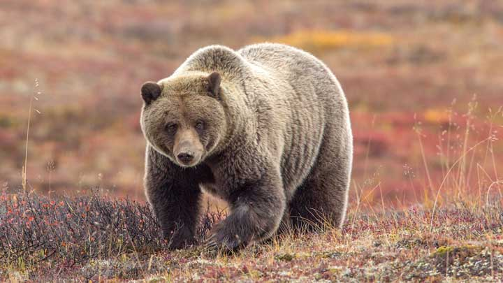 Grizzly bear meat in Alaska can be better the further inland it is when harvested. (Image by Keith Crowley.)