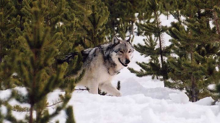 NRA-ILA Partners with Colorado Stop the Wolf Coalition