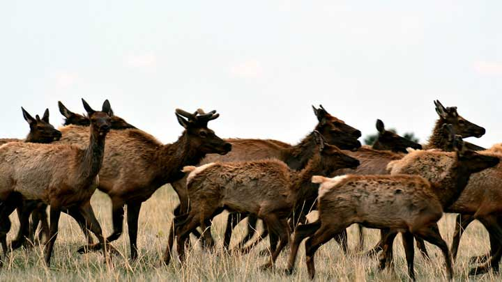 Elk, moose and muledeer all will suffer if gray wolves are introduced into Colorado as animal rights' extremists hope to do with a ballot box initiative. (Image by Ryan Moehring, USFWS Mountain-Prairie.)