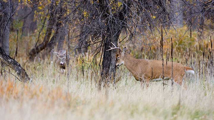 In fall bucks scrape off their velvet and in spring they shed their antlers. Spring is a great time to shed hunt. (Image by USFWS.)