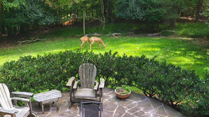 Deer in backyard in Virginia