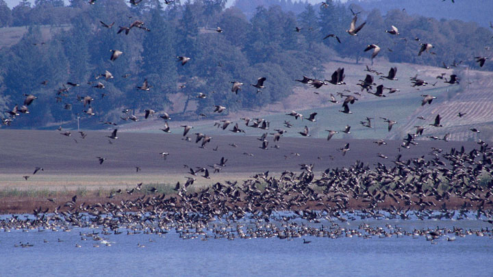 waterfowl fly over Ankeny National Wildlife Refuge